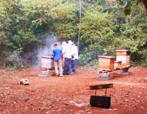 Smoking out the bees in order to harvest honey