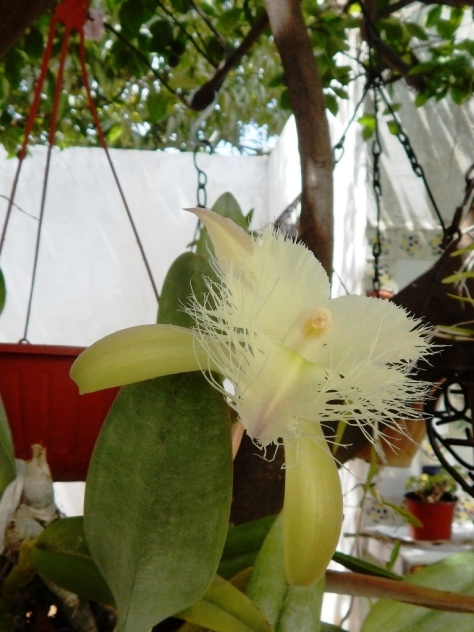 Feathered Orchid
