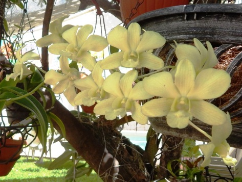 Maggie's Orchid