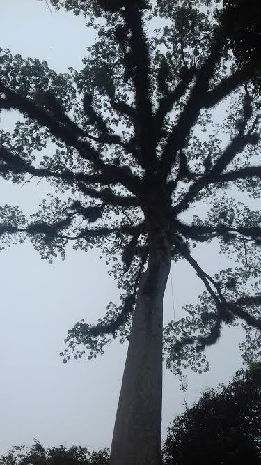 A Ceiba tree in Tikal